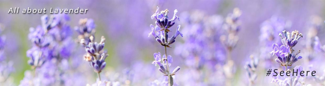 Wholesale Lavender Products